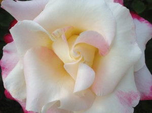 The growth of a rose...gentle petals unfold into a beautiful flower
