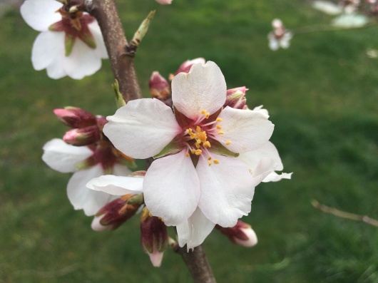 Almond flowers open